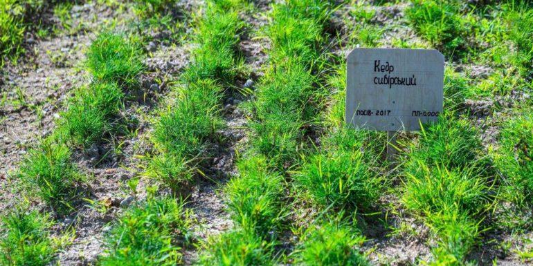 У Білоберізькій ОТГ очікують на врожай кедрових горіхів