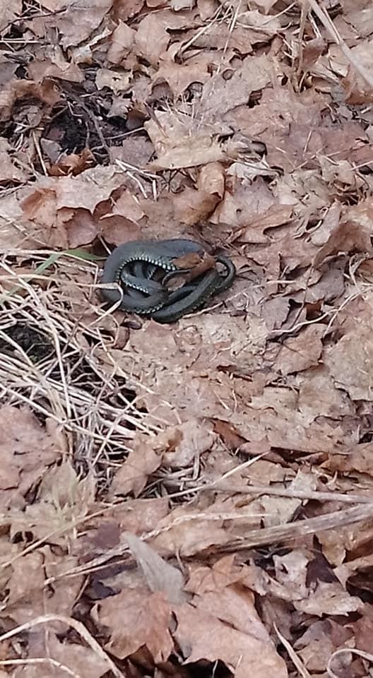 На Прикарпатті помітили перших змій (фотофакт)