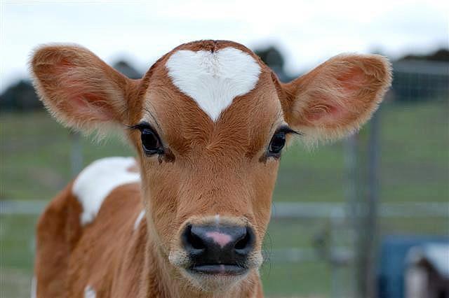 Понад 11 тисяч селян Прикарпаття отримають доплату за утримання молодняку великої рогатої худоби