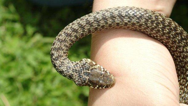 На Косівщині 10-річного хлопчика вкусила змія, потерпілий госпіталізований
