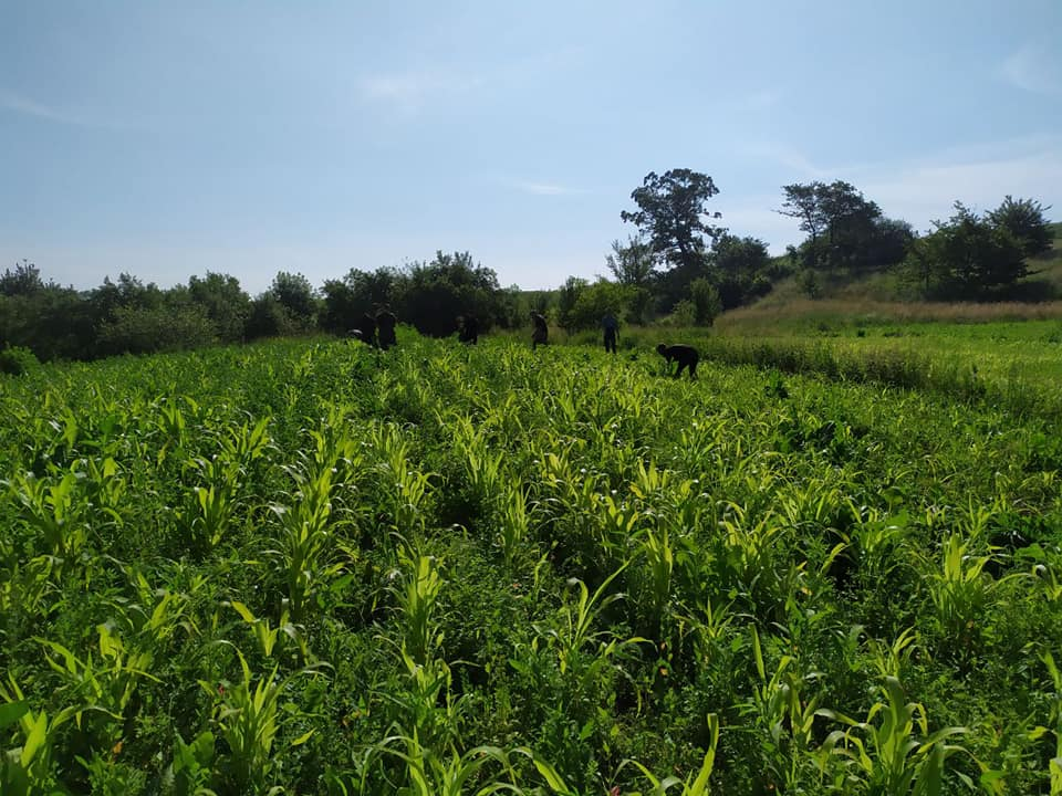 На городі прикарпатця знайшли плантацію коноплі