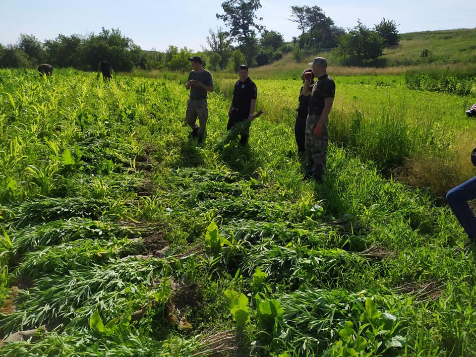 Прикарпатець вирощував коноплю на власному городі (фотофакт)