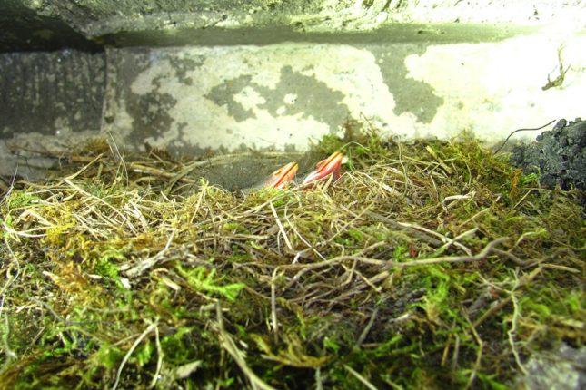 На Попі Івані тинівки альпійські вивели пташенят. ФОТО, фото-1