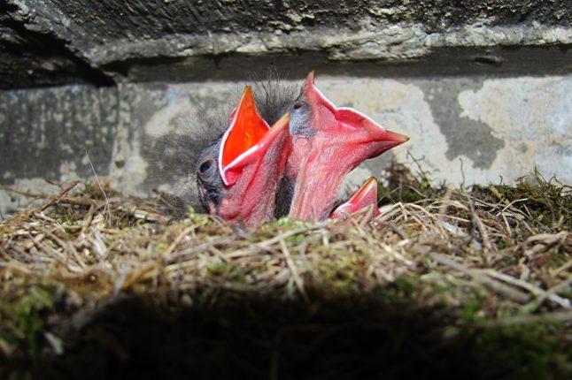 На Попі Івані тинівки альпійські вивели пташенят. ФОТО, фото-2