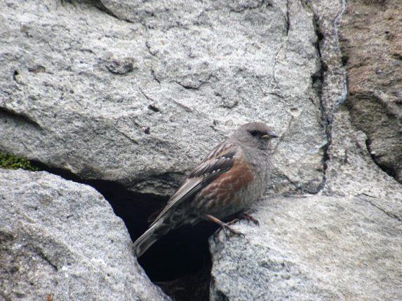 На Попі Івані тинівки альпійські вивели пташенят. ФОТО, фото-3