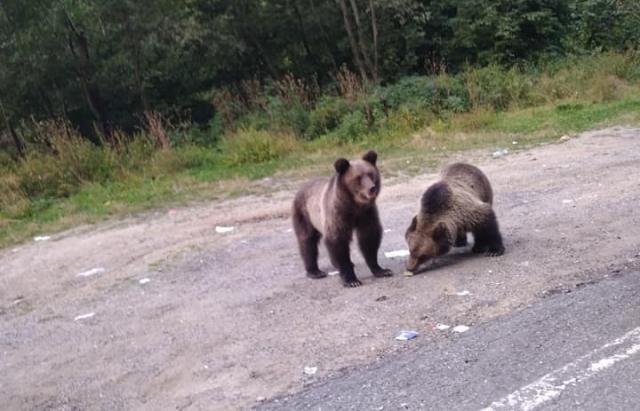 """Результат пошуку зображень за запитом """"Як у Карпатах ведмеді розгулюють по гірському автошляху"""""""